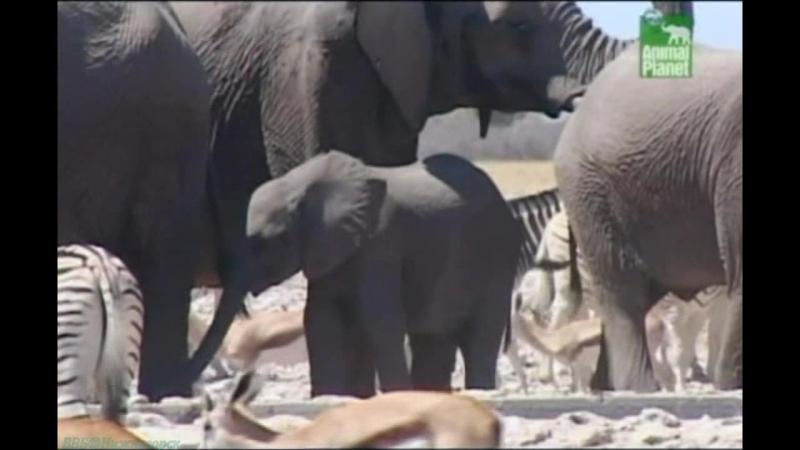 BBC «Заповедник в дебрях Африки» (13 серия) (Реальное ТВ, животные, 2005)