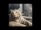 Как проходит съемка с тигром