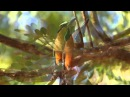 Бурый момот Turquoise browed motmot Eumomota superciliosa
