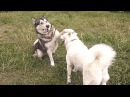Вязка собак первый раз Аляскинский Маламут и Американская Акита