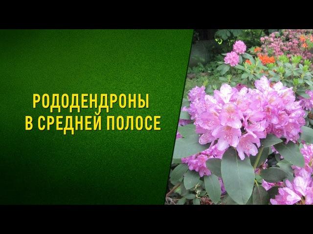 Рододендроны в Средней полосе