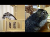 Adorable Hamster Lives In Own House