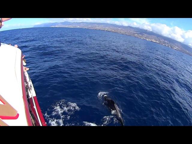 Royal Delfin tour. Atlantic Ocean. Дельфины в природе. Атлантический океан.