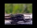 «Жабы на дорогах» (Документальный, природа, животные, Беларусь, 2002)