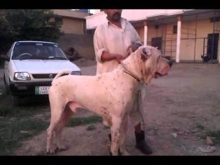 Bully Kutta huge