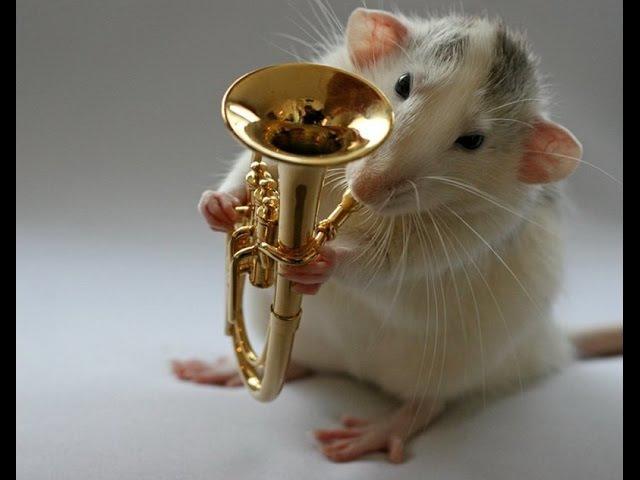 Песня белой крысы