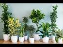 Почему ЖЕЛТЕЮТ И СОХНУТ кончики листьев комнатных растений. Основные причины и