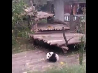 Неугомонная панда)