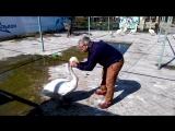 Лебедь Жорка ...