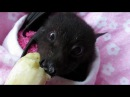 Baby bat Miss Asha eats a banana