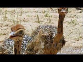 Ребятам о Зверятах - Африканские Страусы (1 Сезон 6 Серия от ASHPIDYTU в 2006)