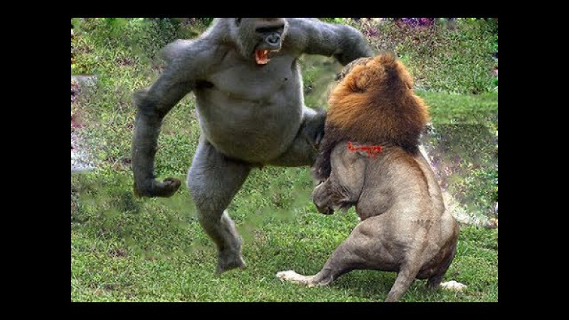 Sư tử vs Baboon vs Lion ➚ Animals Sudden attack chimpanzees,Lion,Leopard, Gorilla