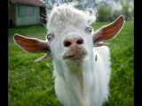 свингер вечеринка с козами