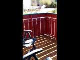 наглая норвежская чайка пытается своровать еду на балконе дома