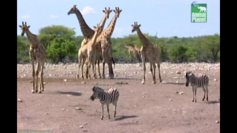BBC «Заповедник в дебрях Африки» (10 серия) (Реальное ТВ, животные, 2005)