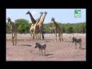 BBC Заповедник в дебрях Африки 10 серия Реальное ТВ животные 2005