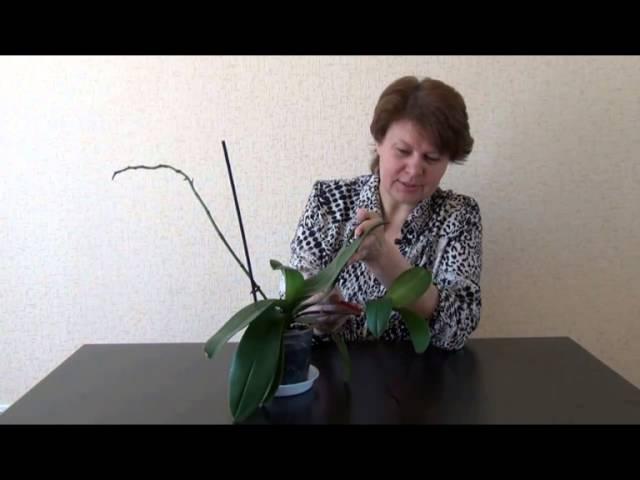 Детки на цветоносах орхидеи фаленопсис