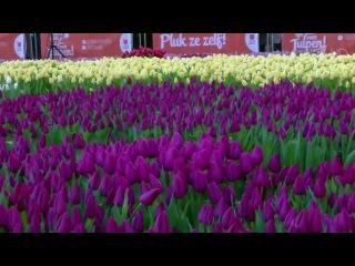 Перед королевским дворцом Амстердама распустилось огромное поле тюльпанов. Нов...