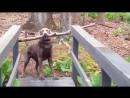Как умная собака переносила длинную палку через узкий мост