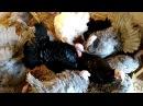 Выращивание индюков - 3.5 месяца / Цесарки стоит ли брать?