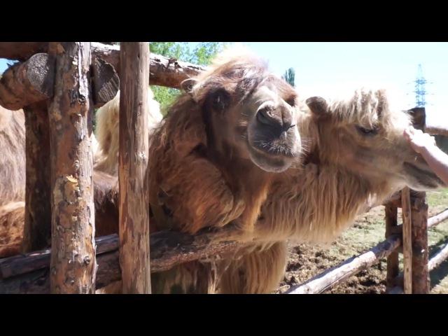 Ксюша Ксения в зоопарке, где много животных: медведи, львы, верблюды, ламы, страус...