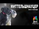 Миттельшнауцер Все о породе собаки Собака породы Миттельшнауцер