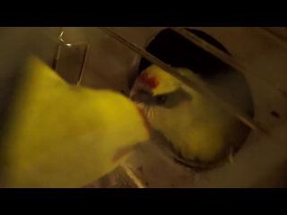 Птенец какарик познает мир