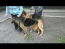Натуральная Вязка Собак. Natural Mating Dogs. Perros de apareamiento natural.