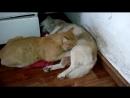 Кот сосёт титьку у собаки