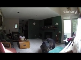 Медведь-взломщик сыграл на рояле в Колорадо