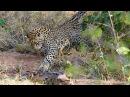 2 Leopards Attack Giant Rock Python Kruger National Park