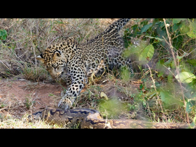 2 Leopards Attack Giant Rock Python ! Kruger National Park.