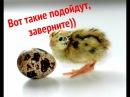 Вот так хорошо Яйца перепелов для инкубации