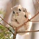 Эта милаха, Ezo Momonga, - японская белка летяга…