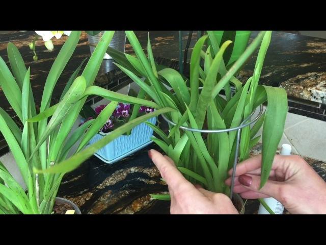 Мои мильтониопсисы весной. Мой уход за орхидеей, полив, свет, удобрение орхидей. Цветоносы и бульбы.