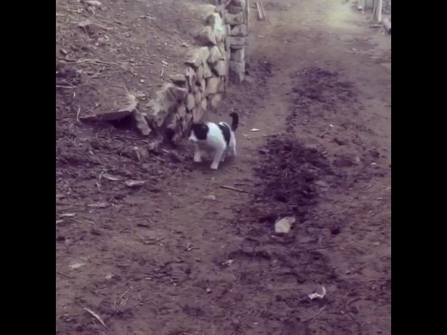 Кот борцуха из Телетли Дагестан