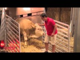 Реакция быка, впервые оказавшегося на воле. Благодаря волонтерам австрийского общества Gut Aiderbichl этот бык, который всю свою жизнь провел на цепи в узком стойле, обрел свободу. Фантастическая реакция запечатлена на видео!