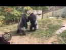 Нереальные бои горилл ПРИКОЛЬНЫЕ ЖИВОТНЫЕ, САМЫЕ СМЕШНЫЕ МОМЕНТЫ С ЖИВОТНЫМИ