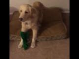 Парень сделал живую копию любимой игрушки своего пса (6 sec)