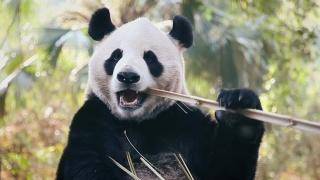 Дикое Рождество: подарок для панды Минди
