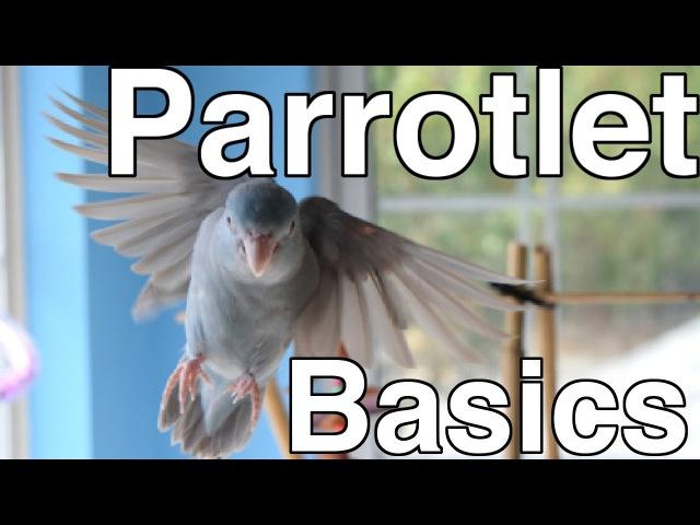 Parrotlet Care For Beginners | Topics » Freewka.com - Смотреть онлайн в хорощем качестве