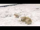В гостях у Колыманы  Polar bear  Умка - 2017