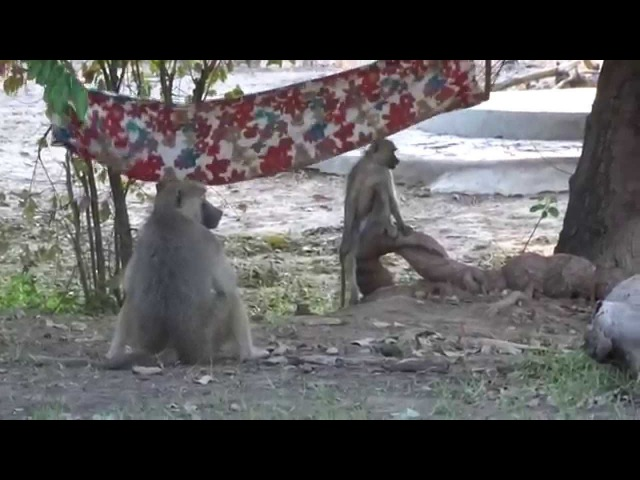 бабуинам нравятся гамаки так же как людям
