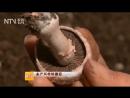 Шампиньоны ''Шуан Бао Гу'' (двуспоровый Гриб). Выращивание Шампиньонов в условиях зимы.