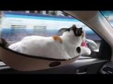 Дачный сезон. Как перевозить котов. Больше видео в группе Dingo