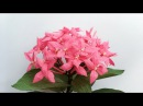 ABC TV | How To Make Ixora Coccinea Paper Flower From Crepe Paper - Craft Tutorial