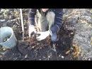 Топинамбур Выращивание и урожайность земляной груши