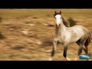 Дикие кони Вольные и полны жизни