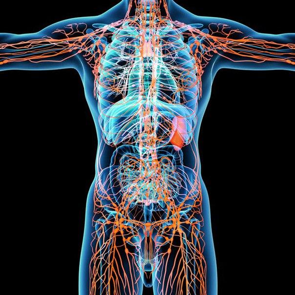 Влияние лимфатического(лимфодренажного ) массажа на