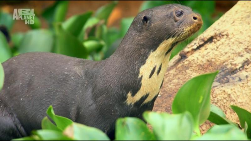 Wildest Latin America ' Pantanal: Brazil's Wild Heart | В дебрях Латинской Америки ' Пантанал. Дикое сердце Бразилии